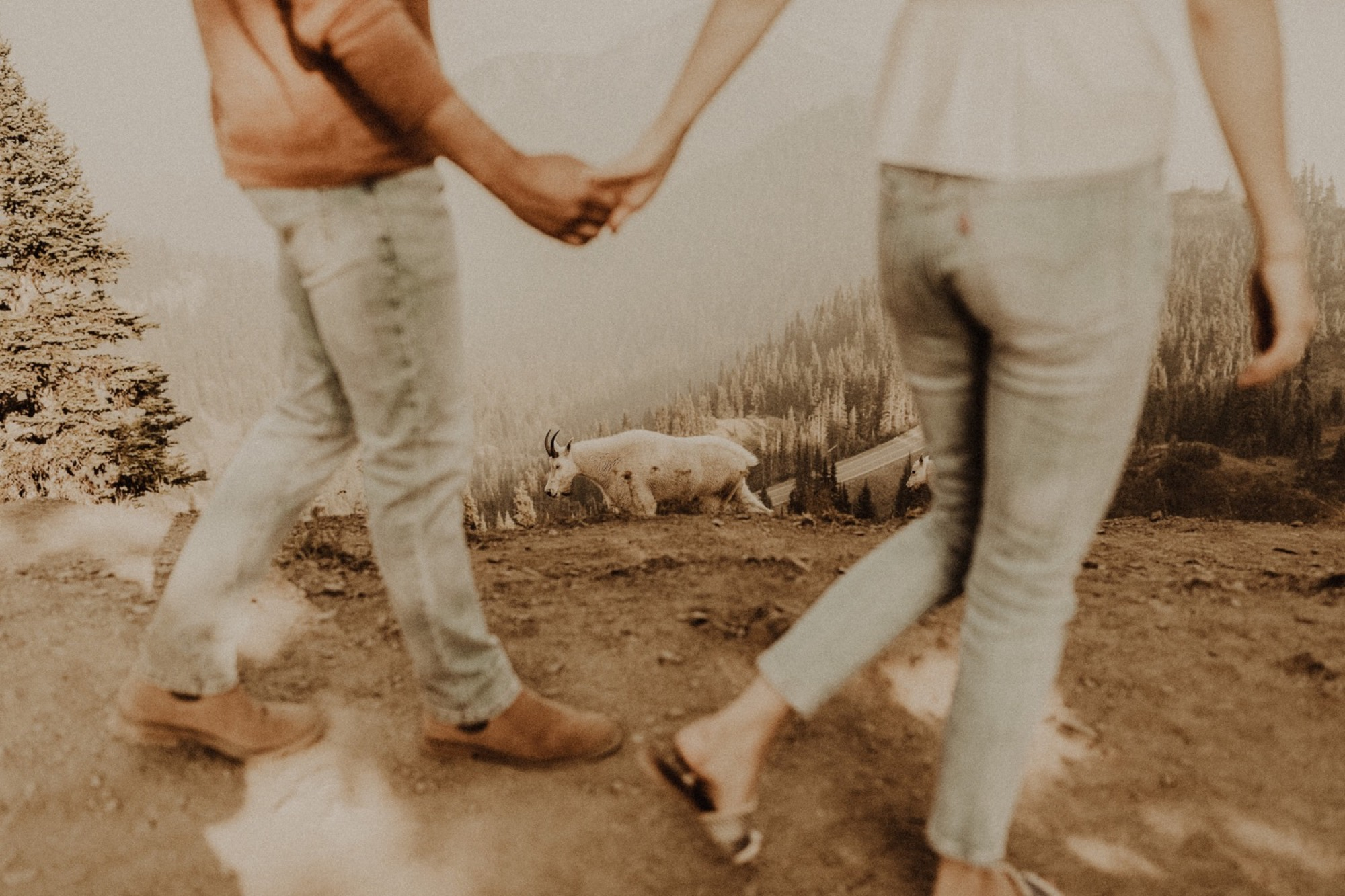 goats interrupt engagement shoot on hurricane ridge during engagement shoot