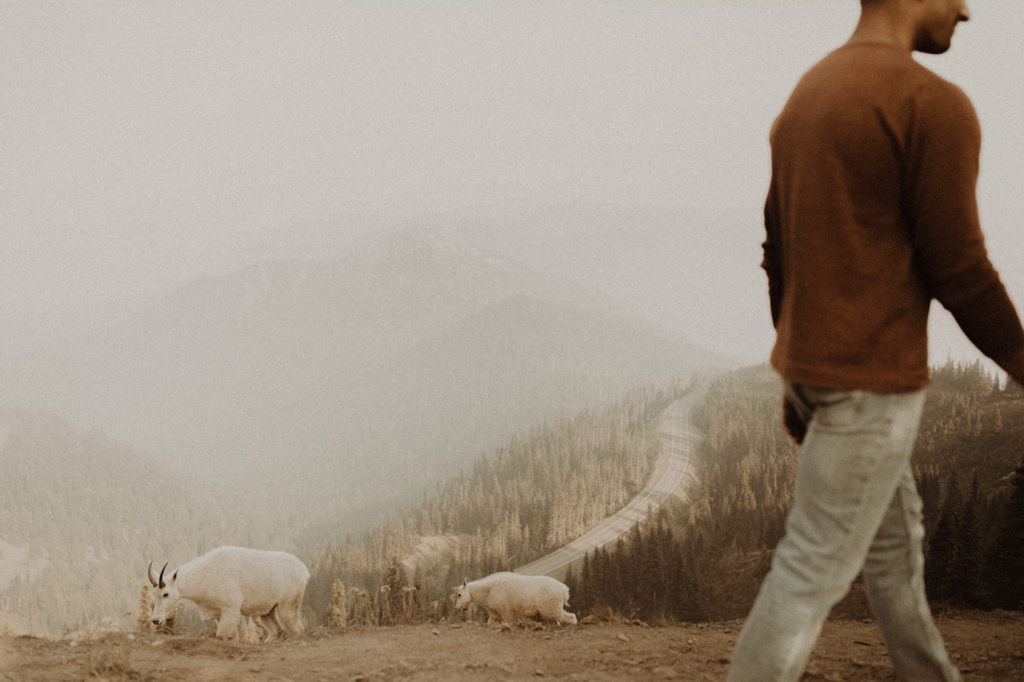 sheep at hurricane ridge interrupting couple's olympic national park engagement shoot